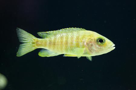 perciformes: Maylandia hajomaylandi. Cichlid endemic to Lake Malawi.