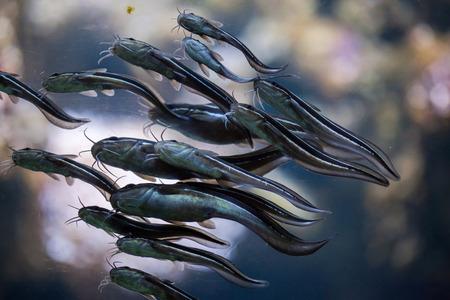 catfish: Striped eel catfish (Plotosus lineatus).