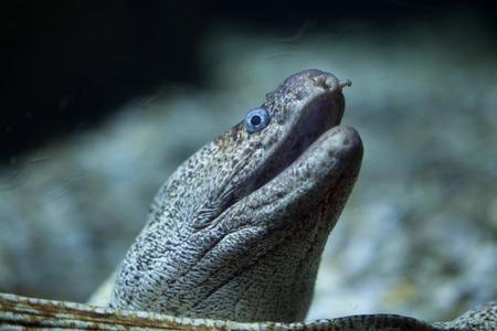 soldier fish: Mediterranean moray (Muraena helena), also known as the Saint Helena moray.