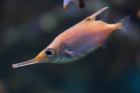 actinopterygii: Longspine snipefish (Macroramphosus scolopax), also known as the bellowfish or trumpetfish. Stock Photo