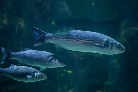 perciformes: European seabass (Dicentrarchus labrax), also known as the Mediterranean seabass. Stock Photo