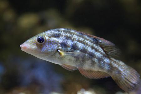 wrasse: Corkwing wrasse (Symphodus melops). Marine fish.