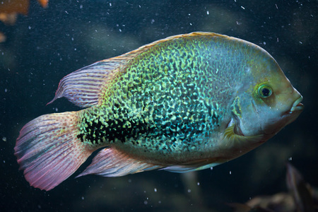perciformes: Oaxaca cichlid (Vieja zonata). Freshwater fish.