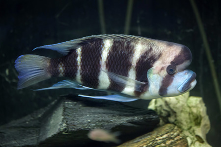 frontosa: Frontosa (Cyphotilapia frontosa), also known as the humphead cichlid.