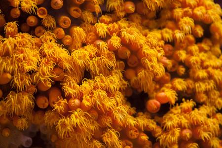 stony coral: Orange cup coral (Tubastraea coccinea).