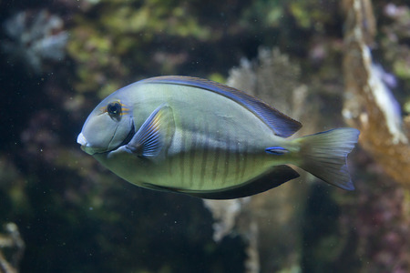 acanthurus: Doctorfish (Acanthurus chirurgus), also known as the doctorfish tang.
