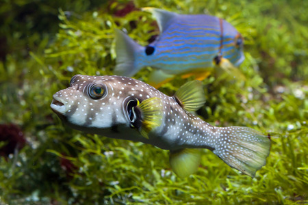 indopacific: White-spotted puffer (Arothron hispidus). Marine fish.