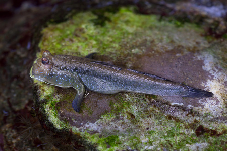 perciformes: Atlantic mudskipper (Periophthalmus barbarus). Marine fish. Stock Photo