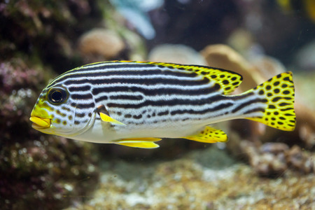 Yellow-banded sweetlips (Plectorhinchus lineatus). Marine fish. Stock Photo
