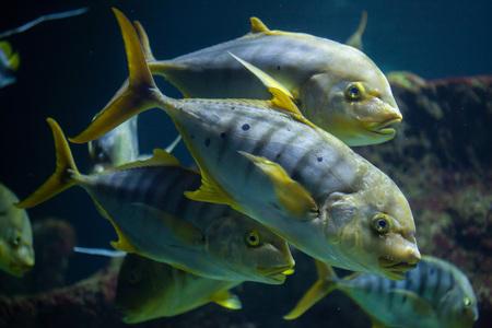 perciformes: Golden trevally (Gnathanodon speciosus), also known as the golden kingfish. Stock Photo