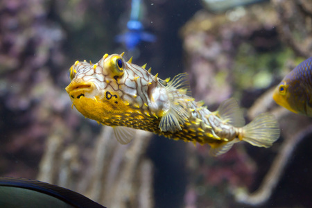 spiny: Striped burrfish (Chilomycterus schoepfi), also known as the spiny boxfish.