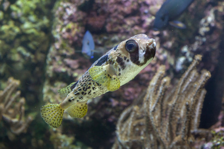 Longspined porcupinefish (Diodon holocanthus), also known as the freckled porcupinefish. Stock Photo