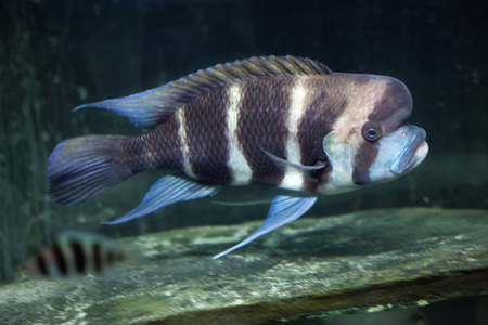 Frontosa (Cyphotilapia frontosa), also known as the humphead cichlid.