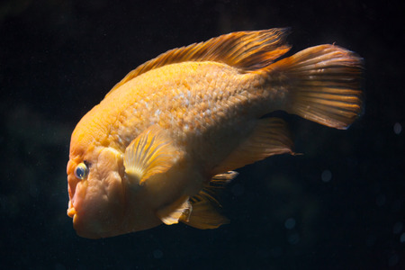 Midas cichlid (Amphilophus citrinellus). Freshwater fish. Stock Photo