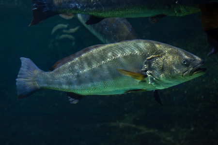 meagre: Meagre (Argyrosomus regius), also known the Atlantic shadefish. Stock Photo