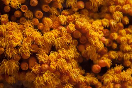 Orange cup coral (Tubastraea coccinea).