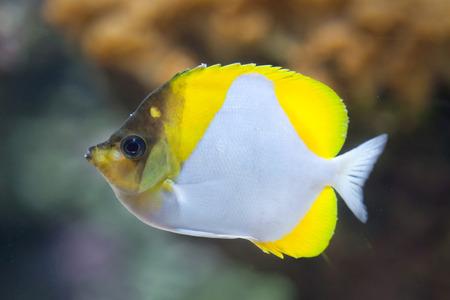 chaetodontidae: Pyramid butterflyfish (Hemitaurichthys polylepis). Marine fish. Stock Photo