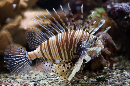 common lionfish: Red lionfish (Pterois volitans). Wildlife animal.  Stock Photo