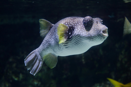 pufferfish: White-spotted puffer (Arothron hispidus). Marine fish.