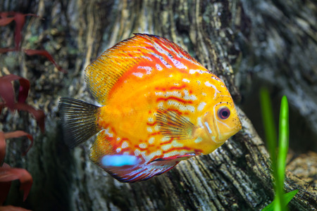 pompadour fish: Red discus (Symphysodon discus), also known as the Heckel discus.