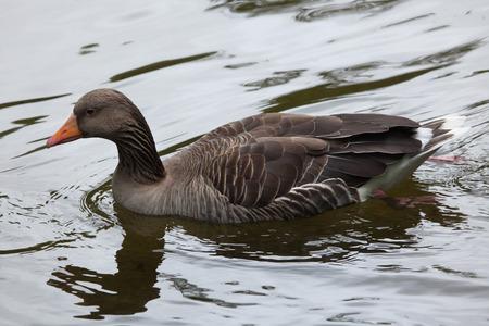 anser: Greylag goose (Anser anser). Wildlife animal.