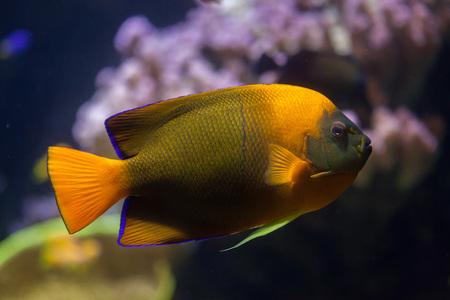 perciformes: Clarion angelfish (Holacanthus clarionensis). Marine fish.