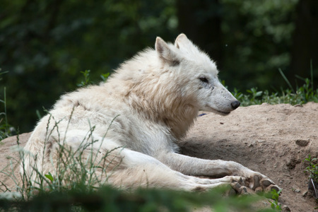 canid: Arctic wolf (Canis lupus arctos), also known as the Melville Island wolf.