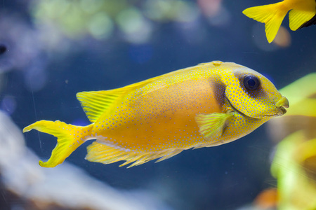 indopacific: Blue-spotted spinefoot (Siganus corallinus), also known as the coral rabbitfish. Stock Photo