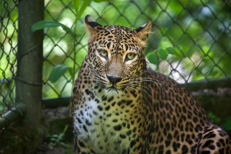 panthera pardus: Sri Lankan leopard (Panthera pardus kotiya), also known as the Ceylon Leopard.