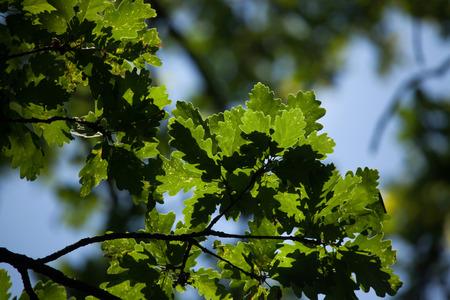 quercus: Pedunculate oak (Quercus robus) in summer