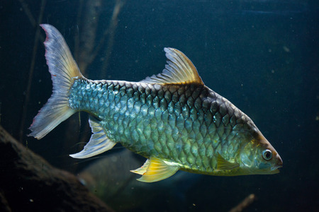 Java barb (Barbonymus gonionotus), also known as the silver barb. Stock Photo