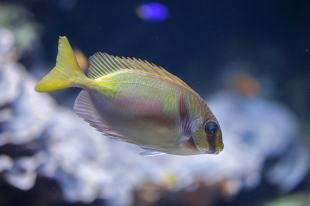 rabbitfish: Scribbled rabbitfish (Siganus doliatus), also known as the barred spinefoot.