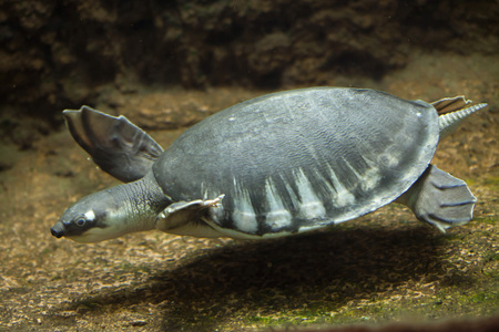 Pig-nosed turtle (Carettochelys insculpta), also known as the Fly River turtle. 版權商用圖片