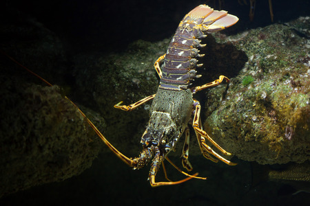 spiny: Common spiny lobster (Palinurus elephas), also known as the Mediterranean lobster. Stock Photo