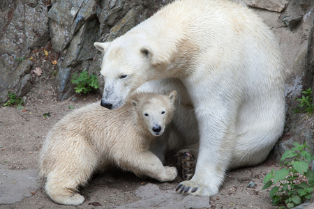 Six-month-old polar bear (Ursus maritimus) with its mother. Stock Photo