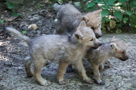 canid: Newborn Arctic wolf (Canis lupus arctos), also known as the Melville Island wolf. Stock Photo