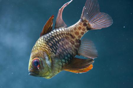 actinopterygii: Pajama cardinalfish (Sphaeramia nematoptera), also known as the spotted cardinalfish.