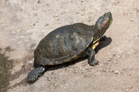 terrapin: Red-eared slider (Trachemys scripta elegans), also known as the red-eared terrapin.