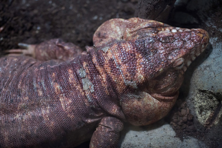 Argentine red tegu (Tupinambis rufescens), also known as the red tegu. Stock Photo