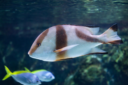 Emperor red snapper (Lutjanus sebae), also known as the government bream. Stock Photo