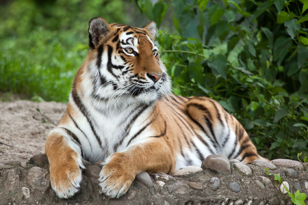 felid: Siberian tiger (Panthera tigris altaica), also known as the Amur tiger.