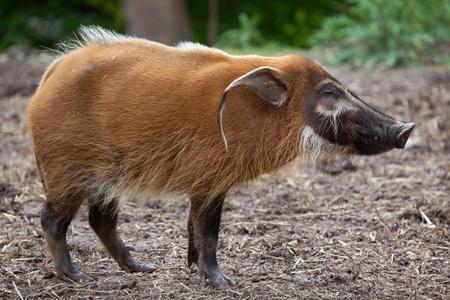 bush hog: Red river hog (Potamochoerus porcus), also known as the bush pig.