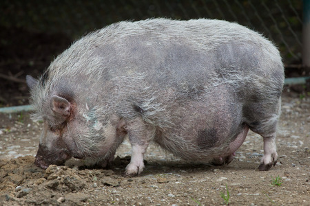 potbellied: Pot-bellied pig (Sus scrofa domesticus). Domestic animal.