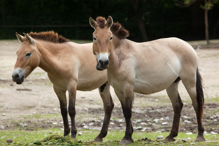 Przewalski horse (Equus ferus przewalskii), also known as the Asian wild horse.  Stock Photo