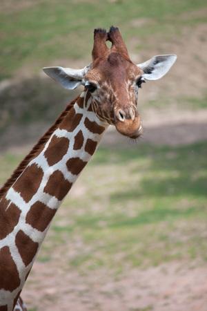 Reticulated giraffe (Giraffa camelopardalis reticulata), also known as the Somali giraffe. Stock Photo