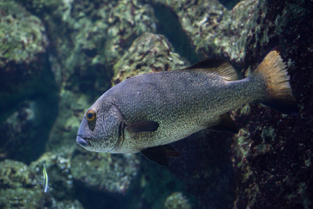 indopacific: Brown sweetlips (Plectorhinchus gibbosus), also known as the silver grunt.
