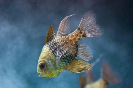 perciformes: Pajama cardinalfish (Sphaeramia nematoptera), also known as the spotted cardinalfish.