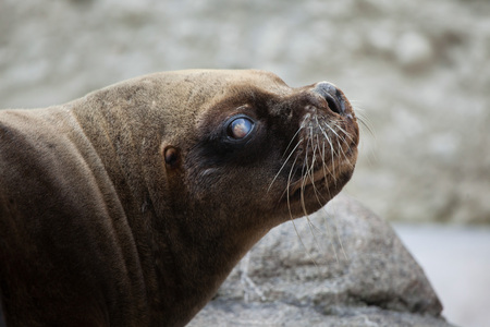 sea lion: California sea lion (Zalophus californianus). Wildlife animal.