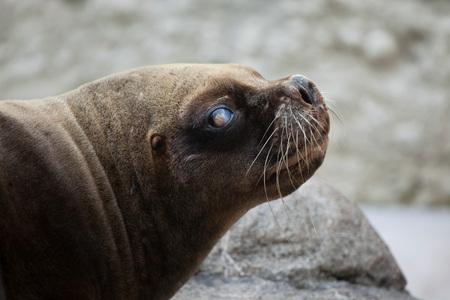 California sea lion (Zalophus californianus). Wildlife animal.