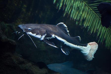 redtail: Redtail catfish (Phractocephalus hemioliopterus). Freshwater fish. Stock Photo